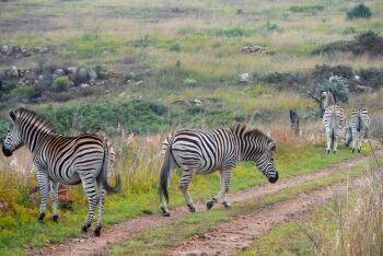 Zebra, Groenkloof Nature Reserve, Pretoria, Tshwane, Gauteng