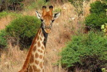 Giraffe, Groenkloof Nature Reserve, Pretoria, Tshwane, Gauteng